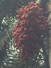 100 foxtail palm tree seeds
