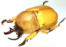 Insect - Pukupuku sp. - Vietnam - Male 22mm ....!!