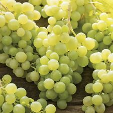 White Green Grape Vine Lakemont Seedless Outdoor Soft Fruit Climbing Plant 3L