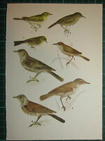 Vintage Natural Historia Estampado ~ Chiffchaff Madera Reinita Fieldfare Zorzal