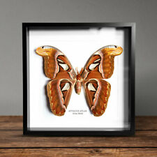 More details for atlas moth (attacus atlas)   box frame