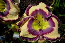 Daylily Seeds (Pandoras Charm x Quoting Hemingway) (13) Seeds