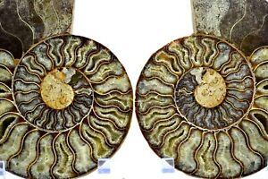 "Cut Split Pair Ammonite Deep Crystal Cavity XXXLRG 6.7"" Fossil170mm e3234uu"