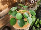 Chinese Money Plant Pilea Peperomioides Indoor Pancake Plant 3