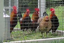 20+ Rare DUTCH Bantam chicken fertile hatching eggs Gorgeous Light Brown variety