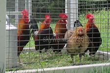 10+ Rare DUTCH Bantam chicken fertile hatching eggs Gorgeous Light Brown variety