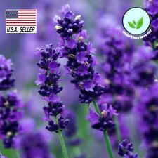 LAVENDER SEEDS Lavandula angustifo 600++  SEEDS MOSQUITO REPELLENT USA!