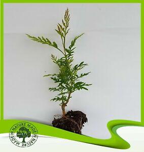 Grevillea robusta (Australian silver oak) - Plant