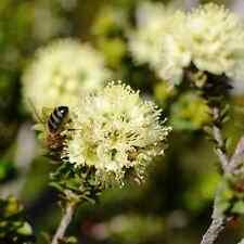 KUNZEA ericifolia Yellow Kunzea Seeds (N 53)