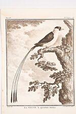 Histoire Naturelle Oiseaux Buffon 1780 Haussard-De Sève La Veuve à quatre brins