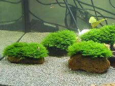 Mini Phönixmoos fissidens sp. Mini auf Lava Größe S Rarität / Wasserpflanze