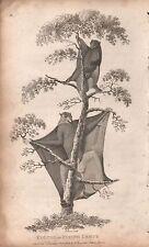 1808 Antique Animal Print - George Shaw-Mammals :Colugo Or Flying Lemur
