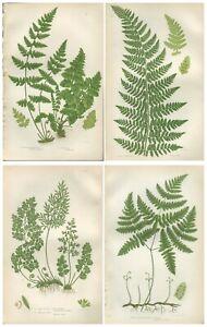 Lot of 4 Original Antique Victorian PRATT Fern Prints Botanical 1862 - Lot 51