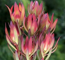 AMY Leucadendron salignum laureolum bicolour flowering protea plant in 140mm pot