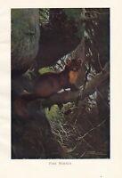 C1914 Naturel History Imprimé~ Pin Marten ~ Lydekker