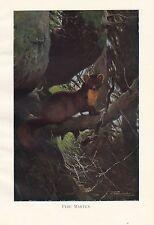 c1914 NATURAL HISTORY PRINT ~ PINE MARTEN ~ LYDEKKER
