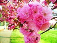 "Kwanzan Cherry Tree - Flowering Kanzan Sekiyama Rooted -  3 Plants in 2.5"" Pots"