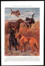 1937 Labrador and Chesapeake Bay Retriever Vintage Print Page Miner Art