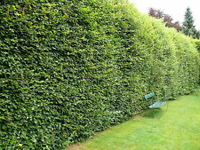 100 Green Beech 5-6ft  Instant Hedging Trees,Strong 4 Year Old Feathered Plants