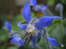 25 graines de Bourrache Officinale Bleue (Borago officinalis L.)