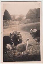 (F15752) Orig. Foto Truthahn, Puten auf dem Hof 1940er