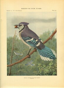 Rare Antique Museum Bird Print ~ Blue Jay