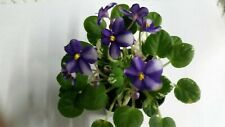 Carousel Pony African Violet Chimera Starter Plant - See Winter Shipping Below