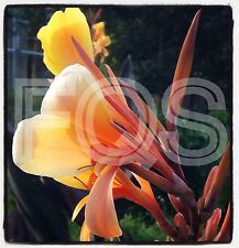 15 X Tropical Canna Seeds Intrigue Hybrid Orange Flower Purple/Green Leaves