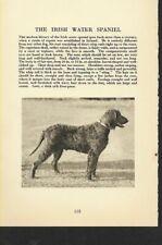* Irish Water Spaniel - 1931 Vintage Dog Print - Matted