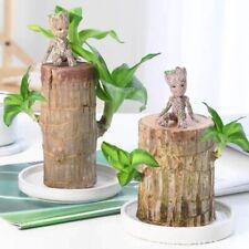 Brazilwood Hydroponic Lucky Plant Mini Indoor Office Desktop Decoration Tree Man