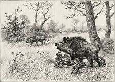 Wild Boar Mother Defends Piglets from Wolf, Large 1890s Antique Print & Article