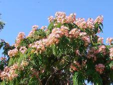 Árbol de la Seda - ALBIZIA JULIBRISSIN - 15 Semillas - Jardín - Samen Semi
