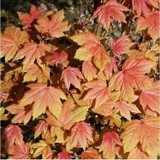 Acer pseudoplatanus Brilliantissium 12 Litre  Standard Feathered Tree