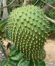 Guanabana - ANNONA MURICATA  -  6 Seeds - Vegetables/ Fruits