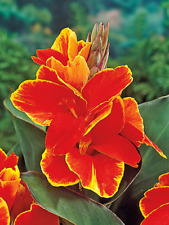 Dwarf Canna Lily Bulbs Rosemond Cole Tropicana Perennial Resistant Plants Decor