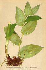 ALPENFLORA ALPINE FLOWERS: Streptopus amplexifolius (L. ) DC-Knotenfuss;1897
