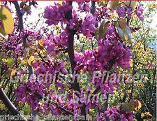 Judasbaum fantastico Blüten Kübelpflanze 10 semi freschi Balcone