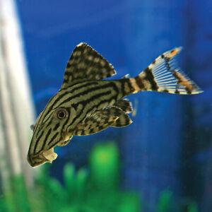 "L190 ROYAL PLECO  PANAQUE PLECO LIVE TROPICAL FISH CATFISH 2"" - 2.5"""