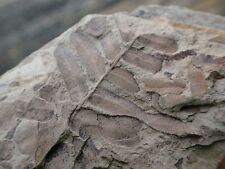 Small Fern Fossil, Pennsylvanian Period, from Georgia, Collector, Teacher GP9