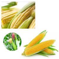 Pro Hot Zuckermais Supersüß Goldgelb* 50 Samen Auch Grillen Home Seeds M3S5