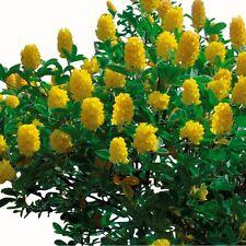 Argyrocytisus battandieri (Silberginster, Pineapple broom) /20 Samen, Seeds