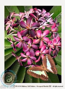 © ART- Pk frangipani Plumeria Butterfly Original Flower illustration Print by Di