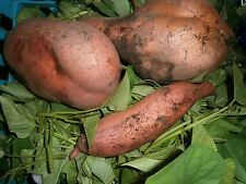 Sweet potato growing (Japanese or Korean sweet potato bought from Asian store)