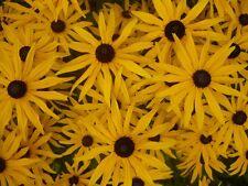 Rudbeckia Goldsturm seed - HP