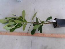 Clusia rosea Autograph tree tropical Florida native shrub PLANT free shipping