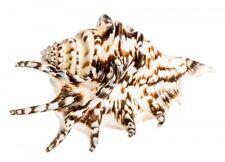 NaDeco® Lambis lambis, dunkel ca. 13cm | Lambis Tiger | Kleine Teufelskralle