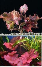 NYMPHAEA RUBRA & RED LOTUS - aquarium live tropical bulb water lily fish plant