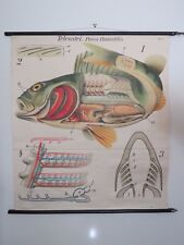 RARE VINTAGE PAUL PFURTSCHELLER PULL DOWN SCHOOL CHART OF FISH PERCH LITHOGRAPH