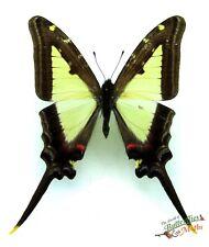Triangle Milan Machaon Papillons Eurytides Leucaspis Ensemble x1 Un- Entomologie