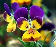 Johnny Jump-up (Viola Tricolor)- 200 Seeds